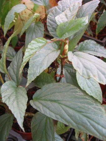 Diamo un nome a questa begonia begonia hatacoa silver - Begonia argentata ...